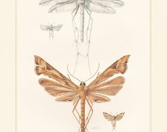 Vintage lithograph of plume moths, white plume moth, platyptilia nemoralis from 1955