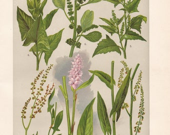 Vintage lithograph of spear saltbush, purple amaranth, bistort, red sorrel, common sorrel, good king Henry from 1911