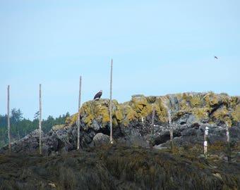 Bald Eagle - Canada