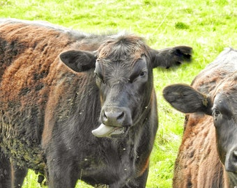funny cow face