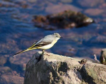 Grey wagtail/gift card/canvas/prints/photography/bird photography
