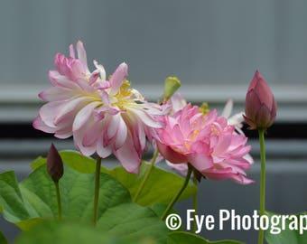 Pink Lotus Print