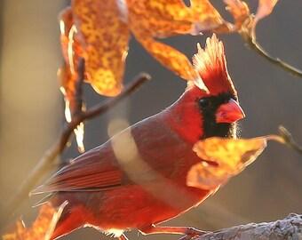 Northern Cardinal Photo - Nature Photography - Golden Light of Fall - Bird Wall Art