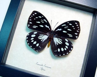 real euxanthe eurinome the common forest queen male framed butterfly 8385