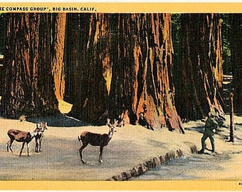 Vintage California Postcard - The Compass Group of Redwoods, Big Basin Redwoods State Park (Unused)