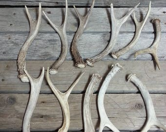 Extra Small Forked Deer Antlers- 2 Point Sheds- Whitetail and Mule Deer- 1 Antler -Stock No. XSFORK