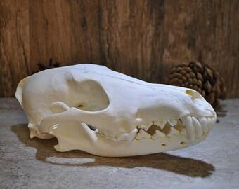 Exotic Real Beautiful Large Coyote Skull