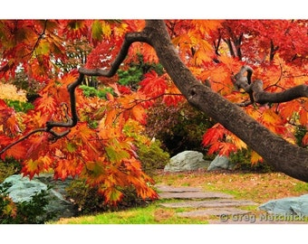 Fine Art Color Nature Photography of Japanese Maple Tree in Bright Red Fall Colors Along a Path in a Japanese Garden