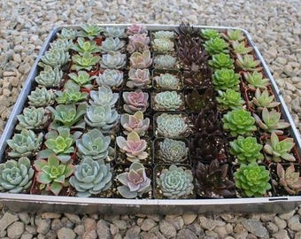 """SAMPLE 3 Beautiful 2""""  Rosettes potted succulent wedding favor gift"""
