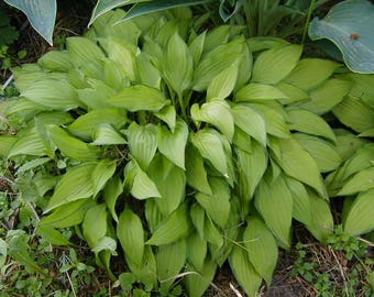Miniature Hosta Variety: Twist of Lime, Live Plant, Division