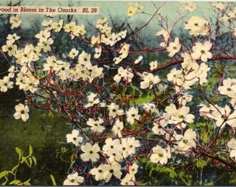 Ozarks, Dogwood, In Bloom - Linen Postcard - Postcard - Unused (O)