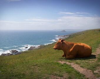 Cow photo, Devon county print, cow canvas, cow print, cow overlooking ocean, Devon photo, Devon Canvas
