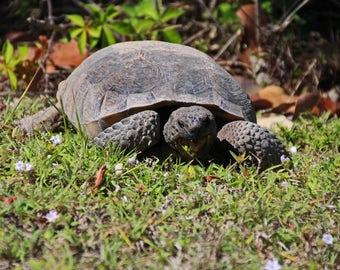 Grazing Gopher Tortoise Photo (FREE SHIPPING in the U.S. only)