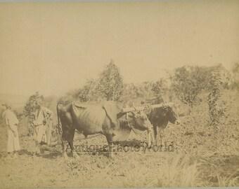 Egypt+farmer+with+ox+oxen+cart+bull+plow+antique+albumen+photo+by+J.+P.+Sebah