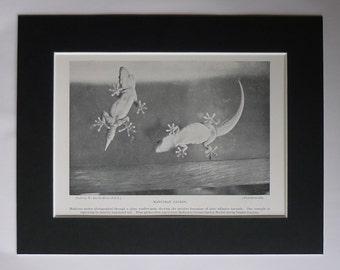 1901 Antique Natural History Print of Geckos, Madeiran Lizard Decor, Available Framed, Madeira Art, Portuguese Reptile, Portugal Wall Art