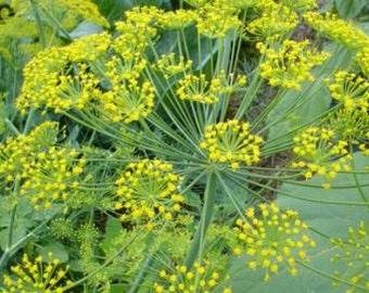 "HD) LONG ISLAND Mammoth"" Dill~Seeds!!!!!~~~~~~My Favorite Herb!"