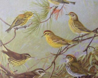 Bird Art Print  Prairie Warblers Water-Thrush  Yellow- throated Warbler Allen Brooks Vintage Double Sided Lithograph Book Plate