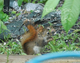 Red Tail Squirrel ~ Photograph