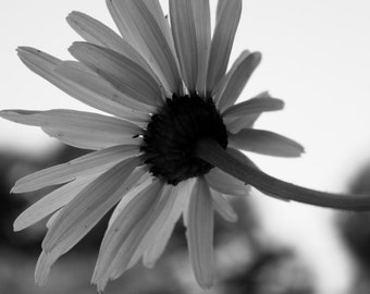 Digital Download Photograph - Daisy in the Shade