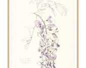 Wisteria Blossom #3 - botanical PRINT Wisteria purple flower - Watercolor pencil drawing, floral art by Catalina.