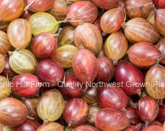 """Welcome Gooseberry Plant - Ships Fully Rooted - Large & Sweet - 1/2"""" Berries"""