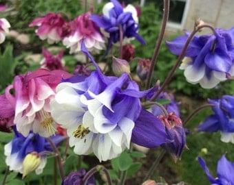 Columbine 'McKana Giant Hybrids' Seeds