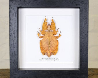 Gray's Leaf Insect Orange Form in Box Frame (Phyllium bioculatum)