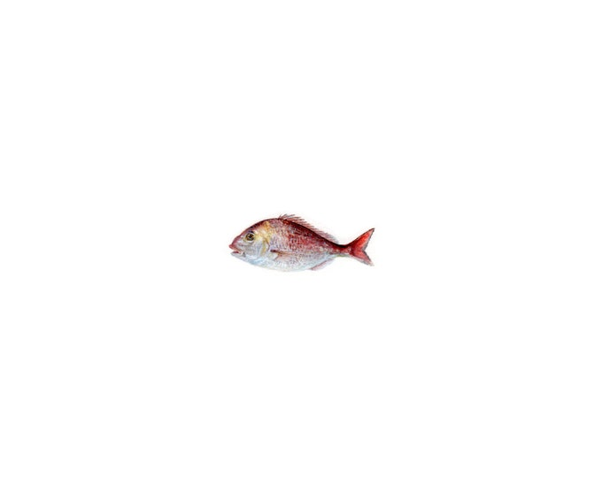 """Print of miniature painting of a Trout Fish. 1 1/4""""x1 1/4"""" print of original Trout Fish painting on 5"""" square german etching paper"""