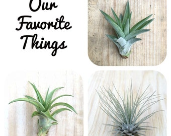 Our Favorite Things - 3 Tillandsia Air Plant Collection