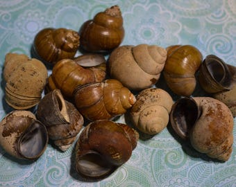 Large snail shells