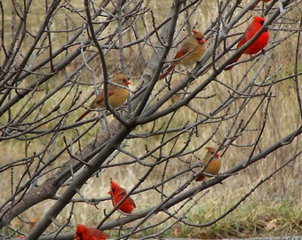 Kansas City Flock of 9 Cardinals in one Photo Includes Scripture Because you are my help, I sing in the shadow of your wings. Psalm 63:7 NIV
