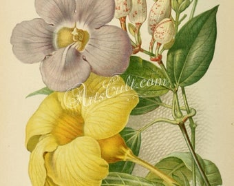 flowers-16611 - thunbergia harrisii, allamanda hendersoni Golden Trumpet digital vintage illustration picture public domain image book scan