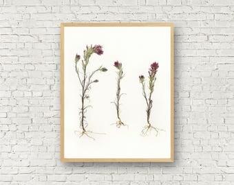 Purple Indian Paintbrush - Spring Wildflower Botanical Print from Pressed Flower - Owl Clover - Mountain Flowers - 8X10 11X14 -  Minimalist