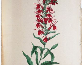 Original 19th c. Hand Painted Engraving of Cardinal Flowers.