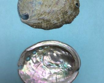 20 Unpolished Abalone Shells