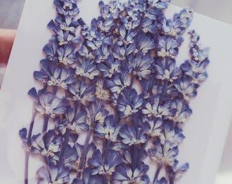 Large Purple Lavender Pressed Flowers Lavender Flower Pack of 12 | Dried Flowers | Flatten Flowers | Real Flowers