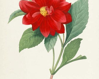 Dahlia Double Flower Art Print, Dahlia Double Botanical Art Print, Flower Wall Art, Flower Print, Floral Print, Redoute Art, red