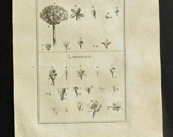 1703 Antique Print, Statice