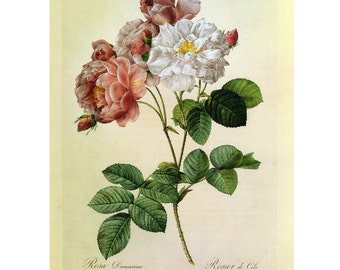 Redoute Pink White Roses Print Book Plate SALE Buy 3, get 1 Free