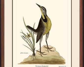 EASTERN MEADOWLARK - Vintage Catesby bird print reproduction 103