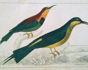 Antique Bee-eater Birds Print ca. 1850, Original Hand-Colored Engraving, Goldsmith, Fullarton, Vintage Bird Ornithological Print