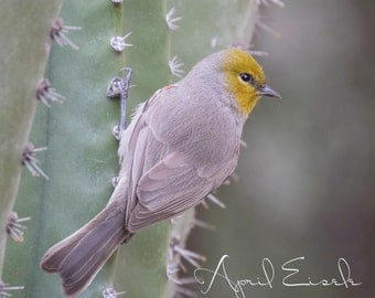Verdin Photo, Bird Photography