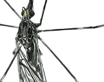 Crane Fly art print, bug illustration, original insect artwork