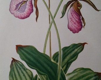 Moccasin flower, antique botanical litho print, 1954