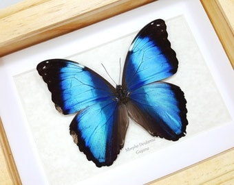 FREE SHIPPING Real Framed Blue Morpho Deidamia A-/A2 Quality Unique Butterfly Framed Taxidermy Mounted Spread