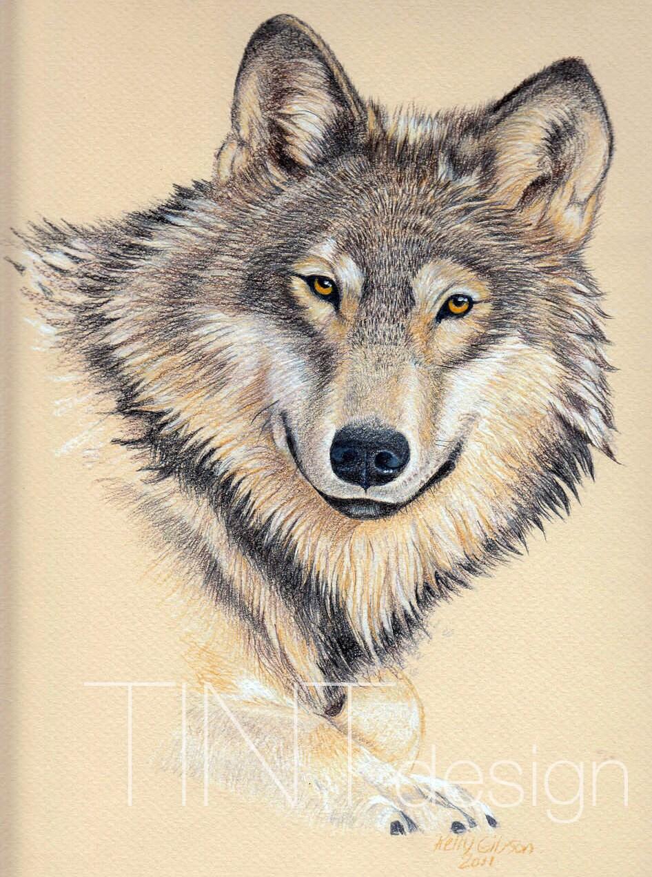 Disegno di lupo grigio personalizzato matita colorata for Lupo disegno a matita