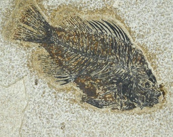 A 50 Million Year Old Priscacara Fish Fossil in BIG Matrix From Wyoming 2055gr