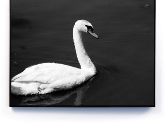 Black and White Swan Photography Magnetic Print + Magnetic Frame