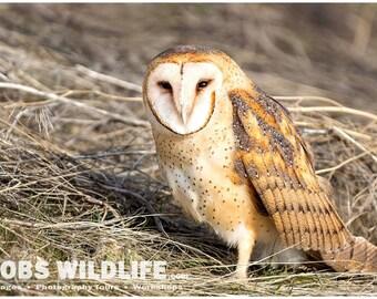 Barn Owl Print, Owl Photography Print, Owl Fine Art, Owl Wall Decor, Bird Photography, Rob's Wildlife, Barn Owl Photograph, Owl Wall Art
