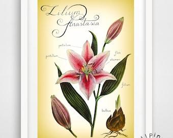 Lily art print, UNFRAMED, botanical poster, vacations,botanical illustration, flower poster, vintage style print, lily Anastasia
